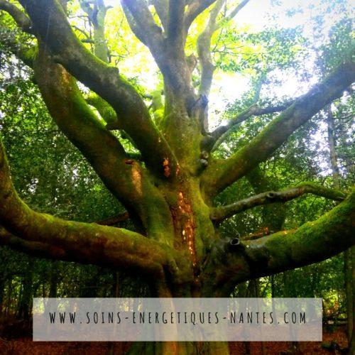 Un arbre remarquable en Broceliande bain de foret energetique par soins energetiques nantes